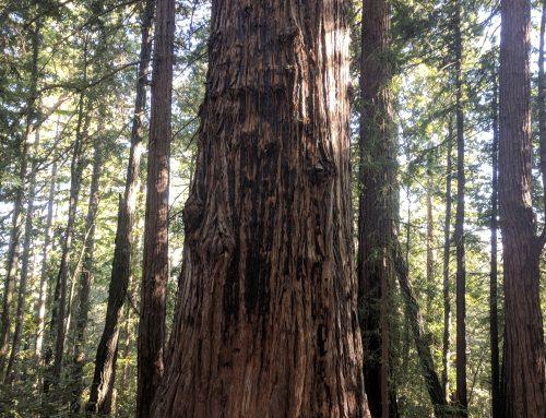 Big Ben Tree via Redwoods Reborn Fall Creek Trail