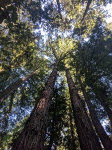 redwood forest vertigo