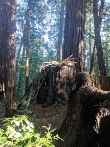 redwood tree trunk shelter